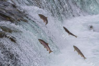 21418918-Sockeye-salmon-jumping-up-Brooks-falls-during-the-annual-migration-at-Katmai-National-Park-Alaska-Stock-Photo